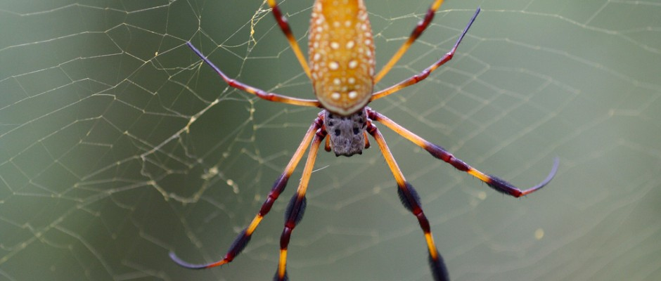 A female golden silk orb-weaver spider. Credit: Rain0975 on flickr.com. Used under CC BY-ND 2.0 licence.